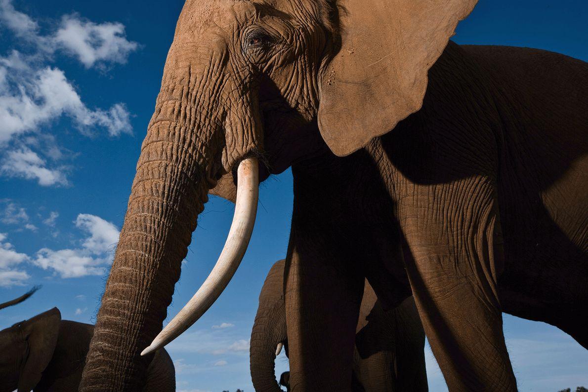 Les éléphants sont des créatures extrêmement sociables qui tissent des liens familiaux très forts. Sur cette ...