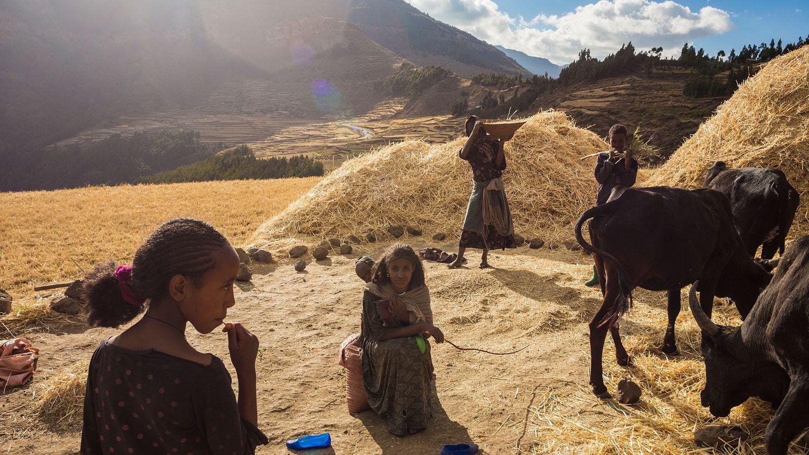 À l'aide d'outils manuels et d'animaux de trait, une famille récolte du blé dans les hautes ...