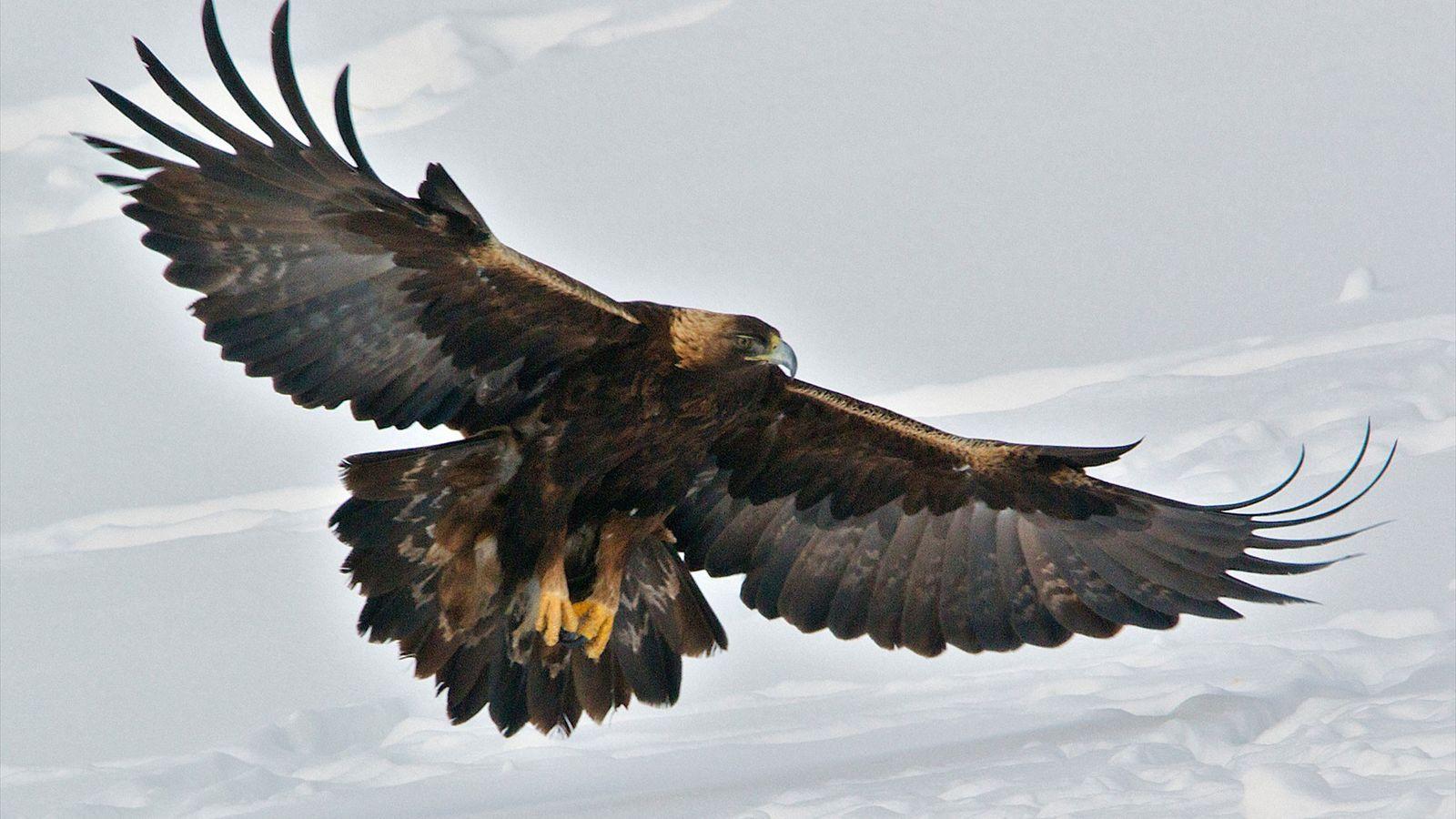 Un aigle royal atterrit sur la neige dans le parc national de Yellowstone. Ces rapaces peuvent ...