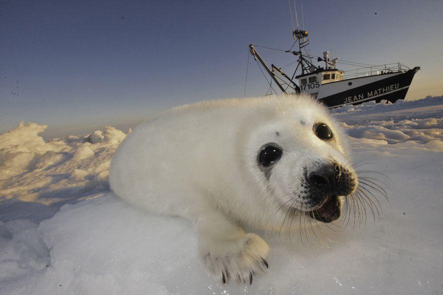 Dans le golfe du Saint-Laurent, un bébé phoque du Groenland s'agrippe à la glace. En 2016, ...