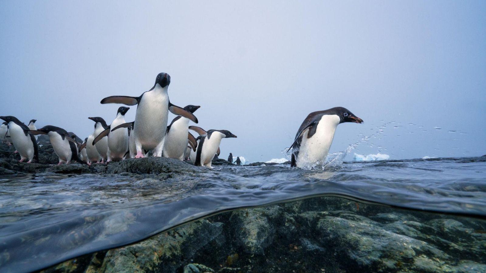 Les jeunes manchots Adélie se préparent pour leur première baignade. Bientôt, ils apprendront à chasser le ...