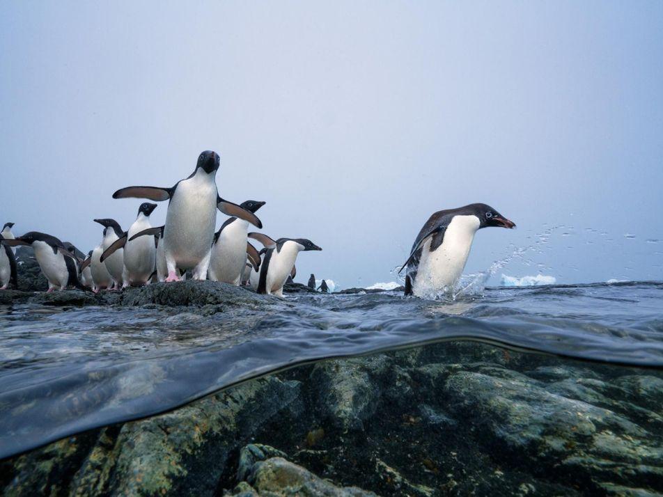 Les pêcheurs, alliés inattendus des manchots en Antarctique
