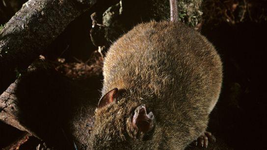 Cette espèce de melomys est apparentée à celle qui vivait sur un îlot dans la Grande ...