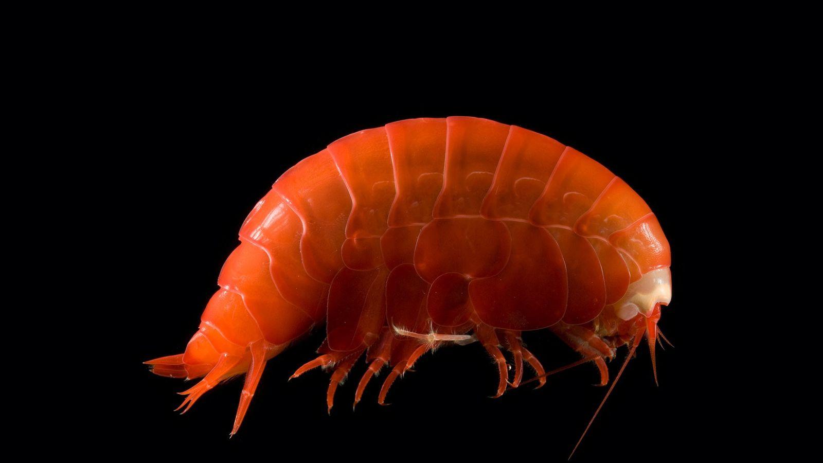 Les amphipodes, à l'instar de cette créature semblable à une crevette, vivent au fond des océans ...
