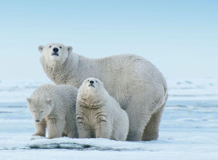 Une ourse polaire et ses petits inspectent une langue de terre qui s'avance dans la mer ...