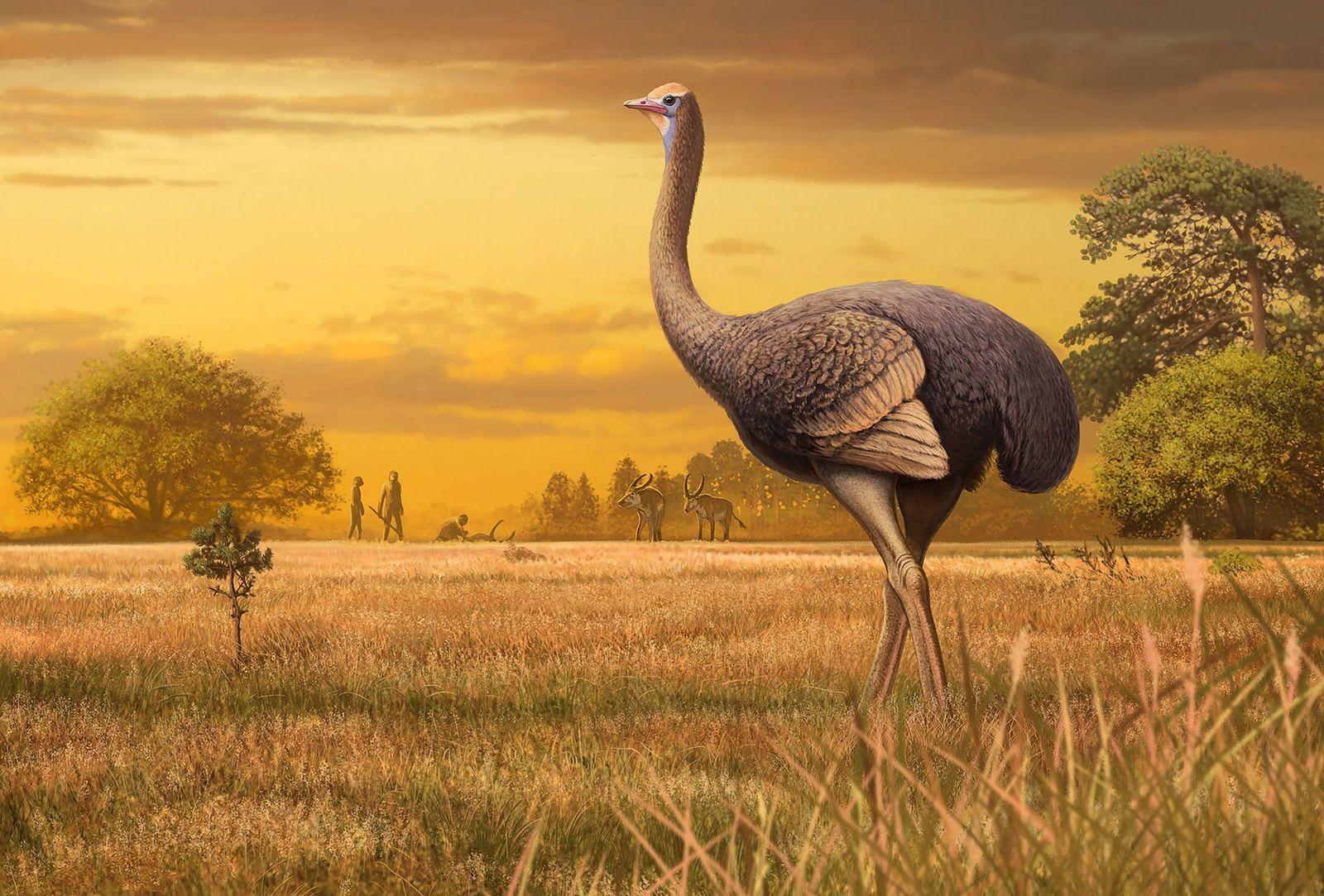 Pachystruthio dmanisensis, un oiseau géant incapable de voler, vivait dans l'actuelle région de la mer Noire ...