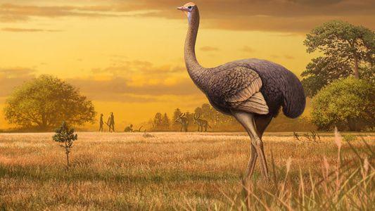 Cet oiseau de près de 4 mètres cohabitait avec les premiers Hommes