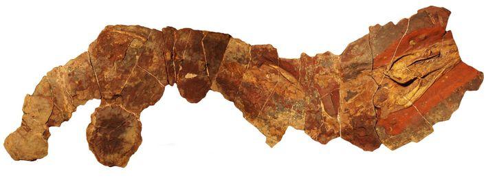 Ce fossile du genre éteint de requin Phoebodus a été découvert au Maroc.