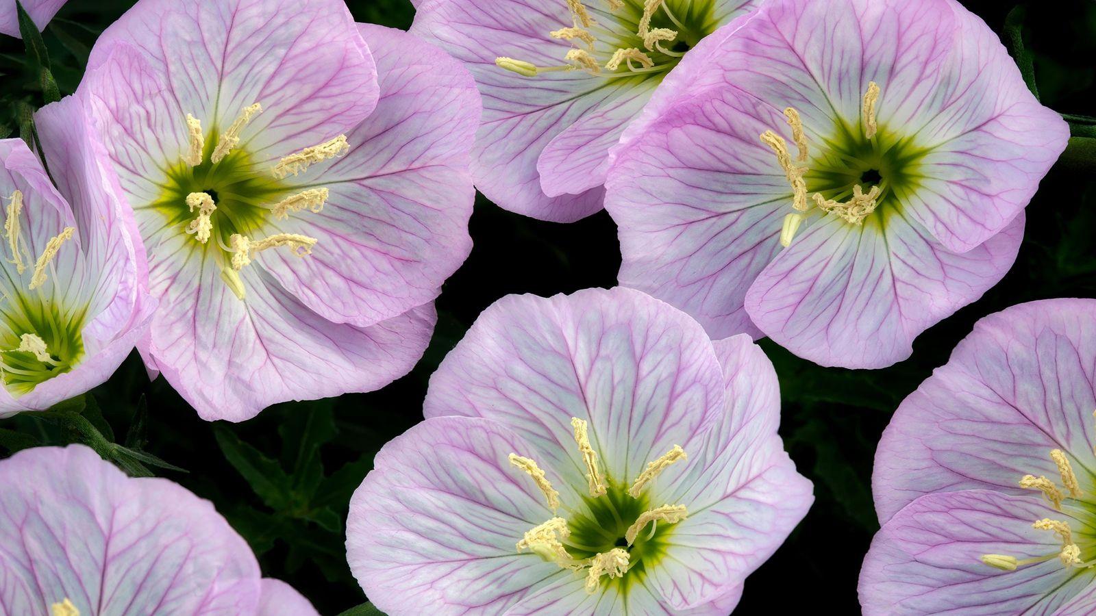 La forme en bol des fleurs de l'onagre bisannuelle serait la clef de leurs capacités acoustiques.
