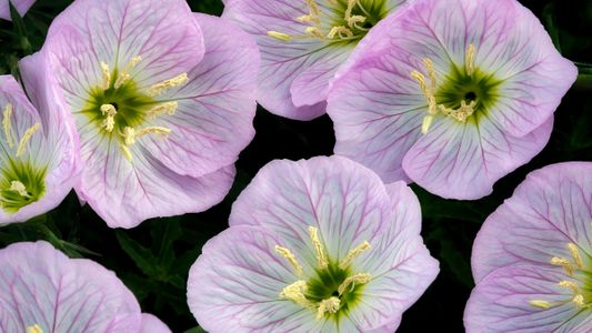 Les fleurs peuvent entendre les abeilles, leur nectar n'en est que plus sucré