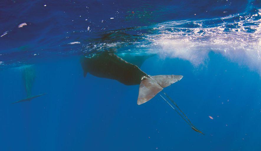 Digit a failli succomber à son calvaire. De nombreux autres mammifères marins ne survivent pas à ...