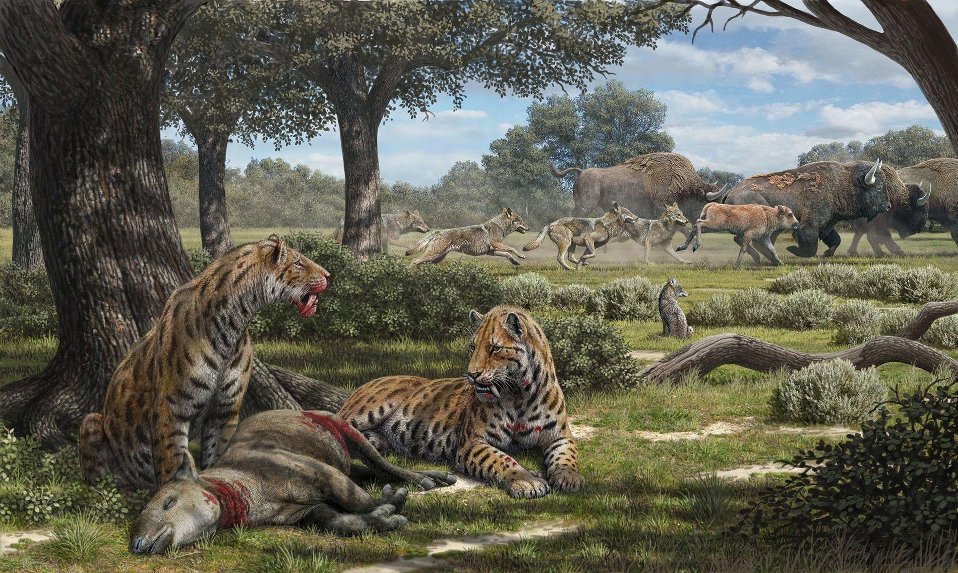 À l'ombre des arbres, des tigres à dents de sabre se régalent d'un herbivore tandis que des loups canis duris chassent des bisons dans les prairies ouvertes du Pléistocène, en Californie. Selon l'analyse de leurs dents, les tigres à dents de sabre de l'Ouest américain préféraient probablement les forêts et chassaient des animaux tels que le tapir et le cerf.