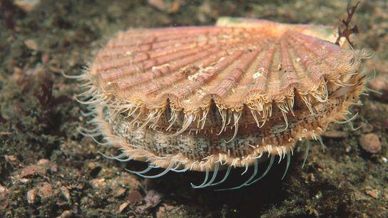 Mollusque très recherché d'un point de vue commercial, la coquille Saint Jacques (Pecten maximus) est capable ...