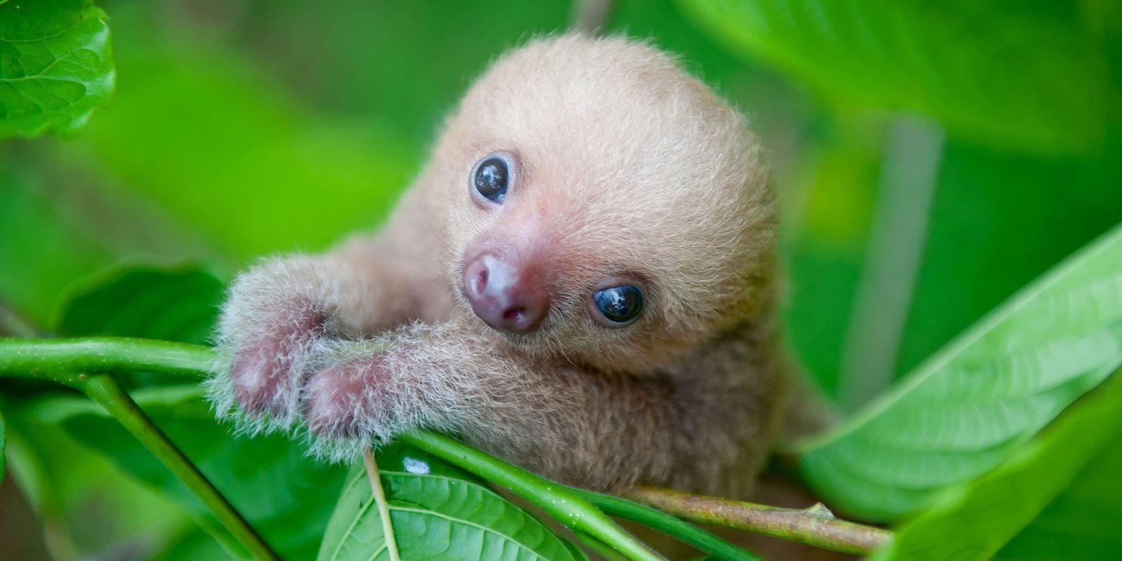 Ces photos de bébés paresseux rappellent le besoin de les protéger