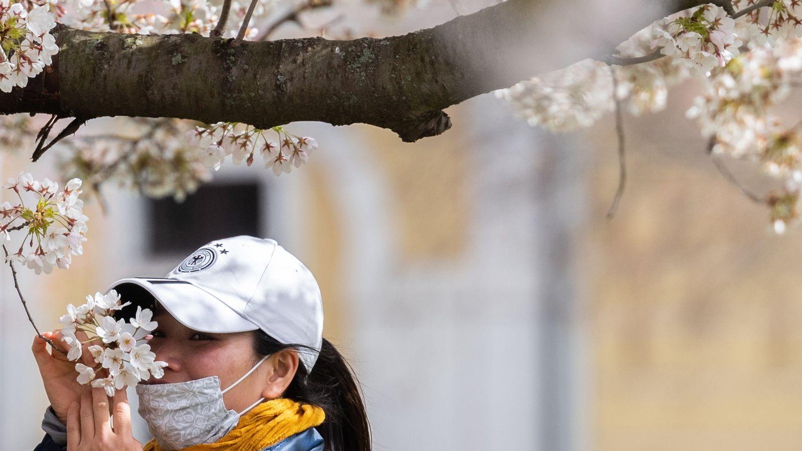 À Dresde, en Allemagne, une femme abaisse légèrement son masque pour profiter du parfum d'un cerisier ...