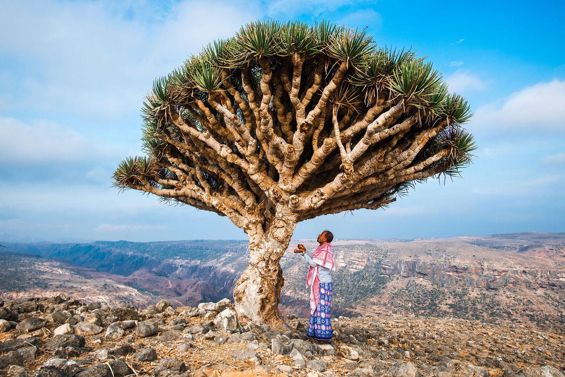 Le dragonnier de Socotra (Dracaena cinnabari) peut vivre des milliers d'années. Sa résine rouge vif aurait ...