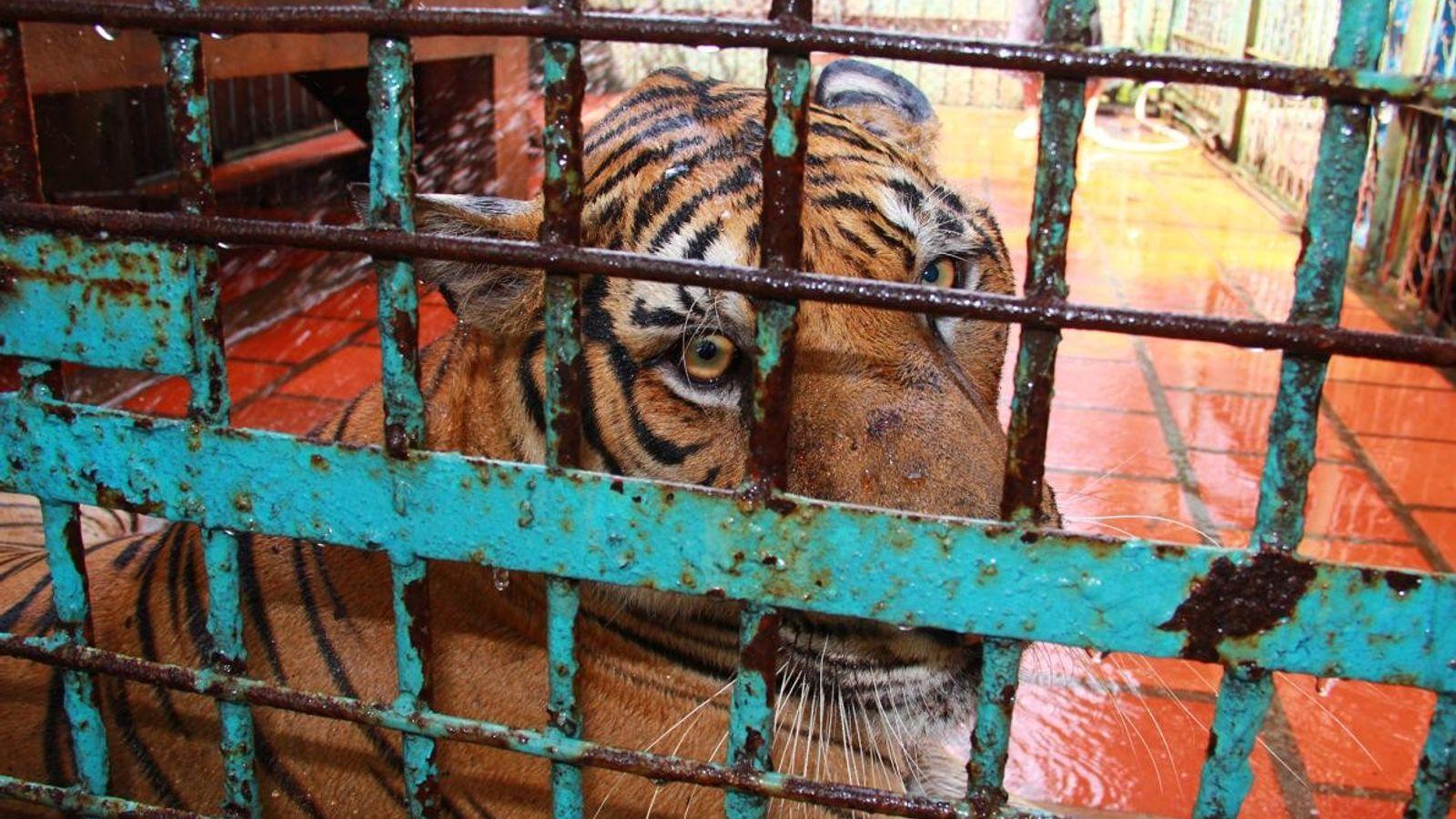 Dans une ferme au Vietnam, un tigre est assis dans une cage. Des études suggèrent que ...