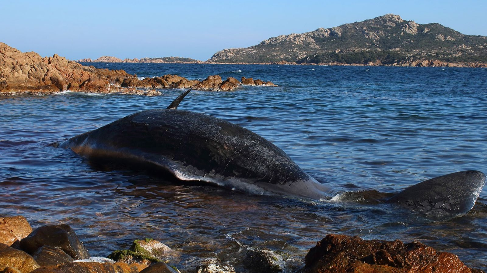 Une femelle cachalot enceinte échouée sur une plage de Sardaigne, une île italienne. Son estomac était ...