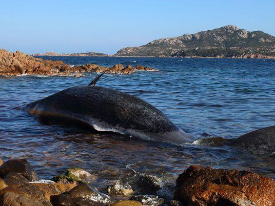 Une baleine enceinte a été retrouvée morte l'estomac rempli de plastique