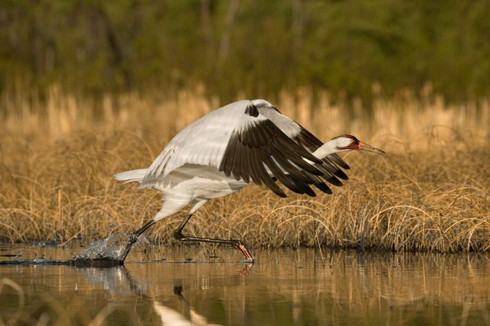Une grue blanche d'Amérique s'envole de son nid pour se nourrir. Cet oiseau est parmi les ...