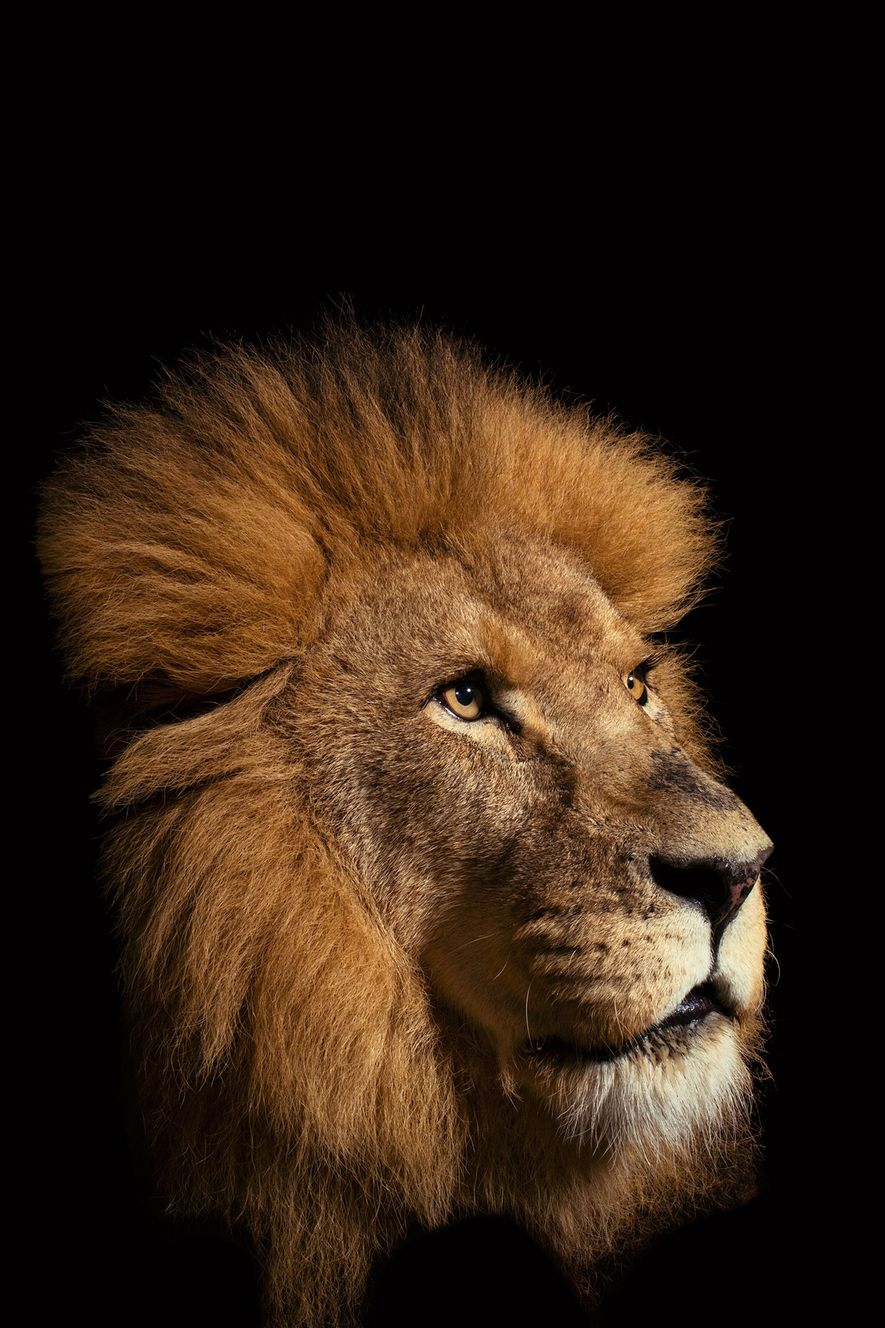 Le lion d'Afrique (Panthera leo) est l'un des seuls fauves à vivre en grands groupes familiaux. ...