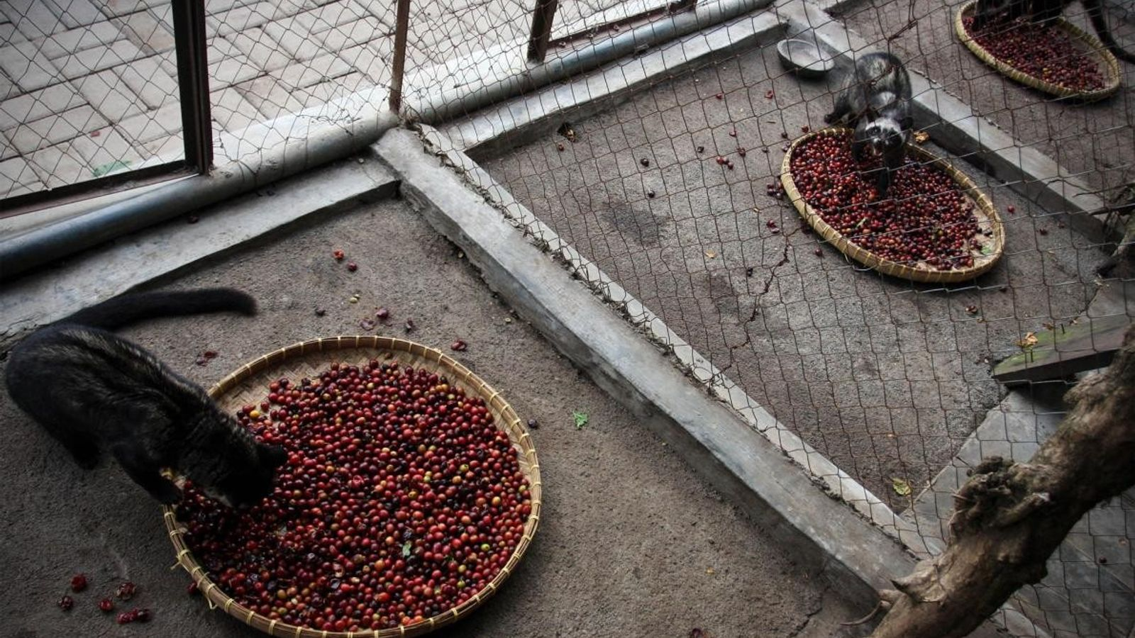 Les civettes en captivité sont parfois nourries exclusivement de cerises de café, le fruit qui produit ...