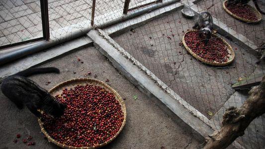 Le troublant secret de fabrication du café le plus cher du monde