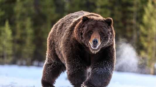 Les grizzlis du parc de Yellowstone resteront finalement une espèce protégée