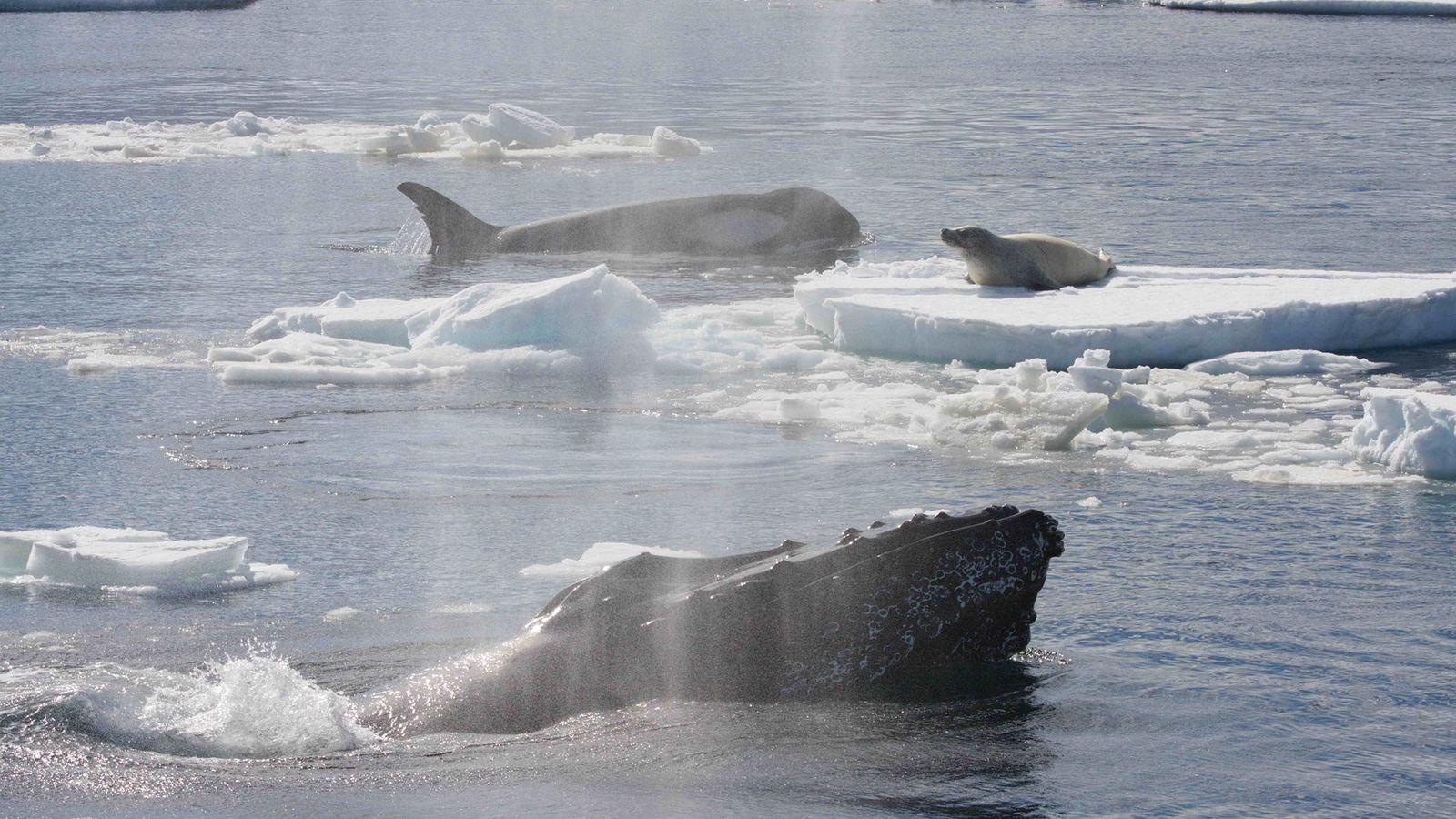 Une baleine à bosse s'est interposée entre cette orque et le phoque crabier qu'elle attaquait en ...