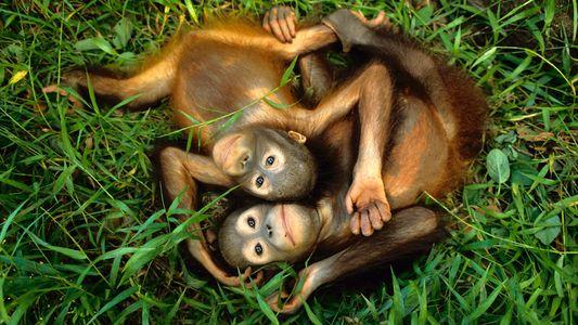 L'espèce de grands singes la plus rare au monde mise en péril par un barrage hydroélectrique