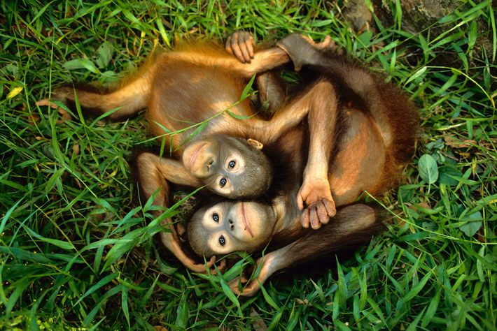 Des orangs-outans de Bornéo orphelins s'amusent dans l'herbe au Centre de réhabilitation de Sepilok dans la ...