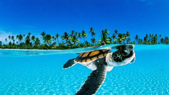 Un bébé tortue de mer nage au large de la Polynésie française.