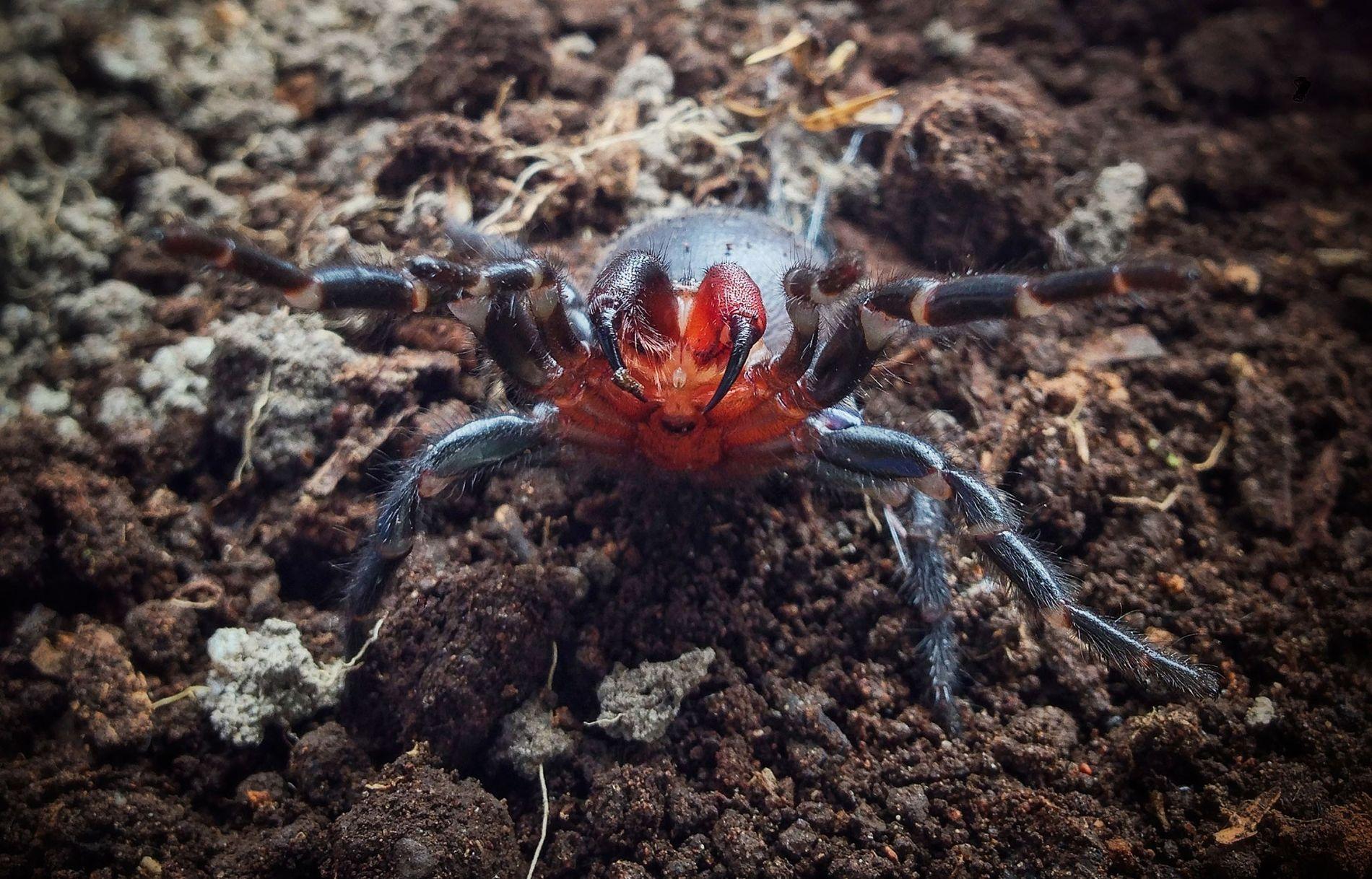 L'araignée à toile-entonnoir aux crochets rouges prend la pose, prête à frapper.