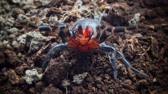Araignée bicolore