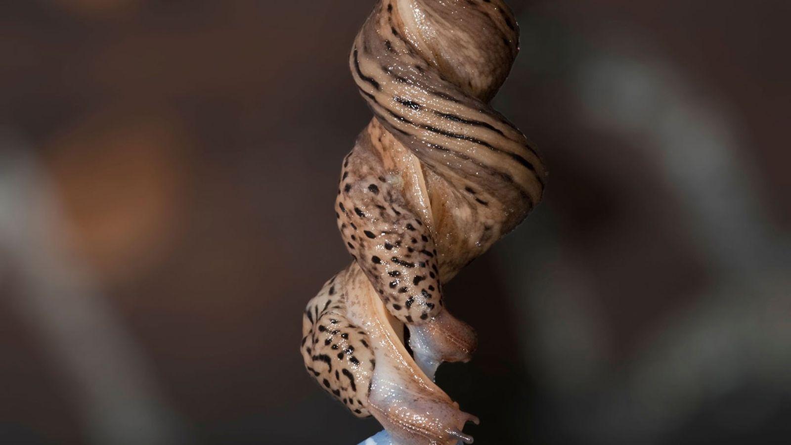 Deux limaces léopard se reproduisent en entrelaçant leurs corps, suspendues sur un fil de mucus.