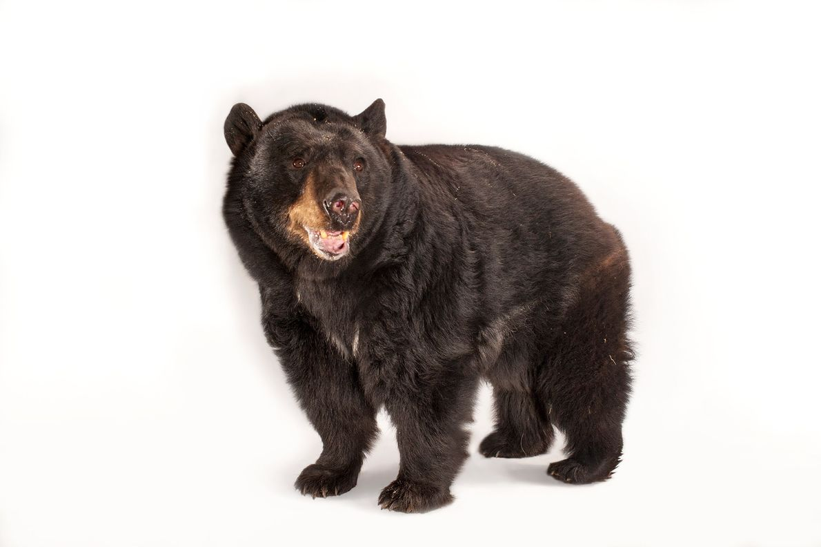 02-alaska-refuge-black-bear