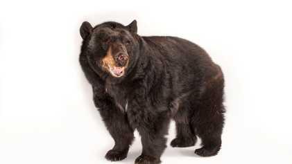 Ces animaux pourraient être à nouveau chassés dans les réserves d'Alaska