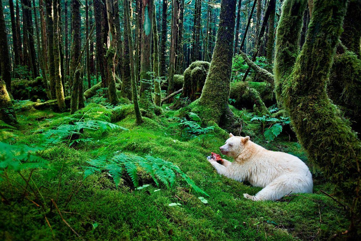 Un ours Kermode