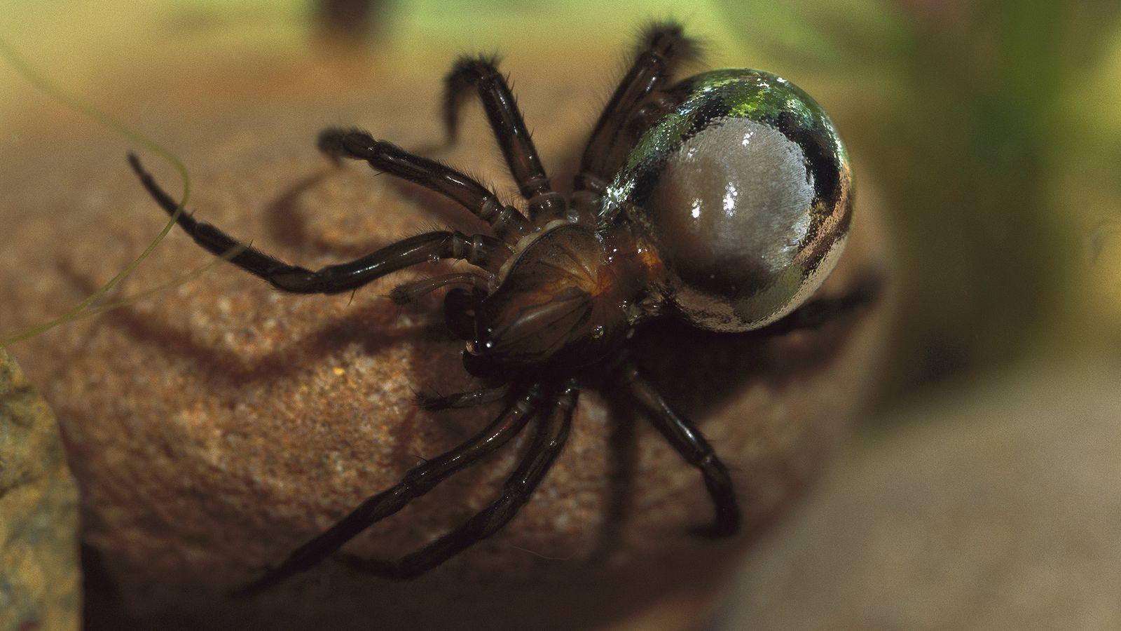L'argyronète transporte de l'air en le piégeant dans une bulle entourant son abdomen, ce qui lui ...