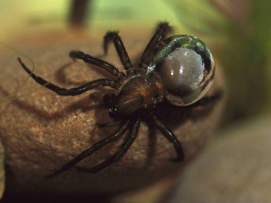 Ces araignées sont capables de respirer sous l'eau