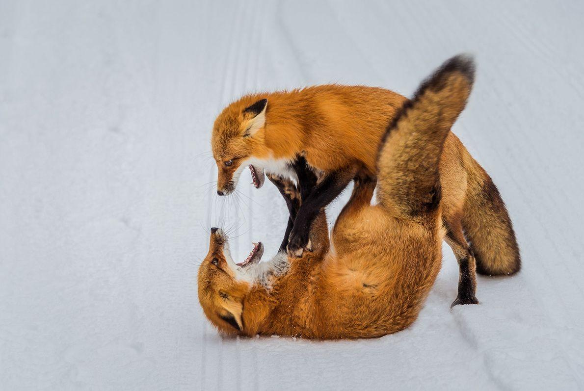 Deux renards roux en pleine lutte sur les terres recouvertes de neige de l'Ontario.