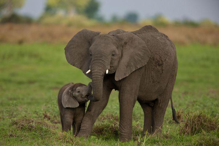 Au Botswana, dans le delta de l'Okavango, une éléphante s'occupe de son petit.