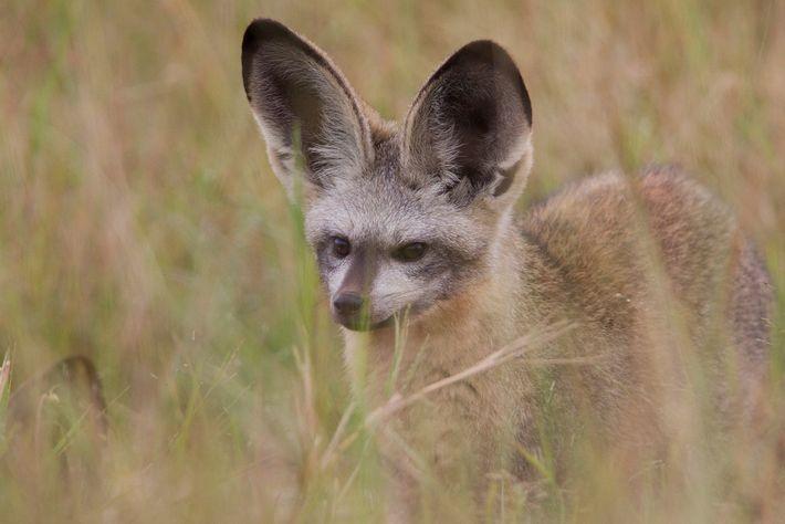 Un renard à oreilles de chauves-souris sort sa tête des hautes herbes du parc national Hwange ...