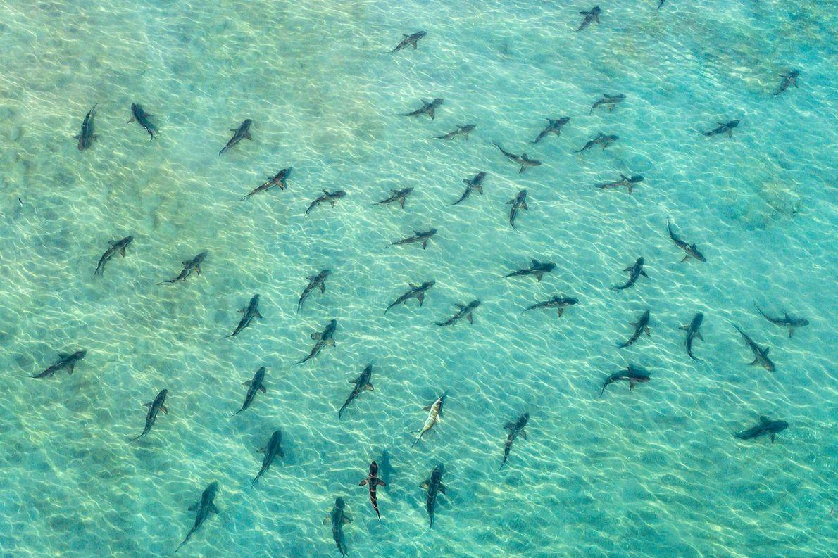 Des requins bordés. Juno Beach, Floride