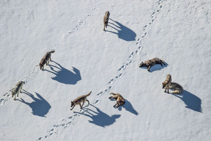 Une meute de loups enquête sur les traces d'un grizzly dans la Pelican Valley du Yellowstone.