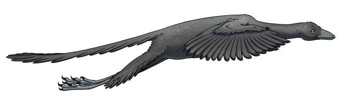 Reconstitution d'un Archaeopteryx en vol, réalisée par un artiste sur la base de la nouvelle étude.