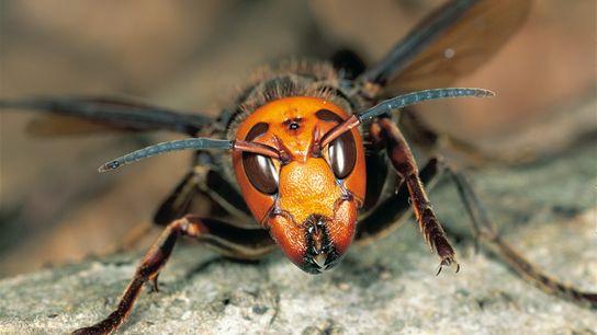 Les Vespa mandarinia peuvent sembler effrayants mais il faut savoir qu'ils ne piquent que lorsqu'ils se ...