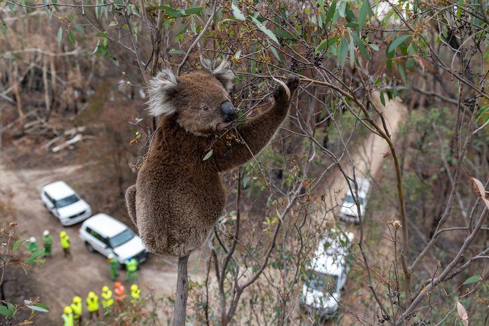 Un koala ayant survécu aux feux de brousse s'agrippe à un eucalyptus pendant que les sauveteurs ...