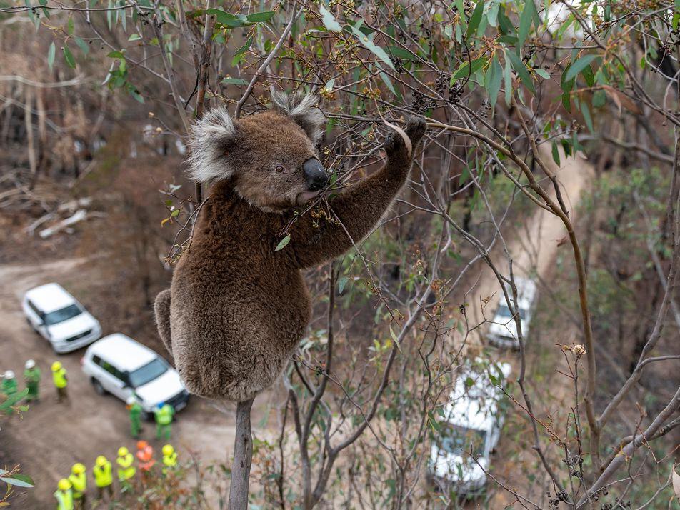 Incendies en Australie : koalas et autres marsupiaux peinent à s'en remettre