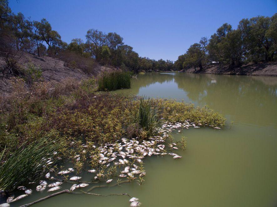 Cette hécatombe de poissons dans la rivière Darling en Nouvelles-Galles du Sud a été liée à ...